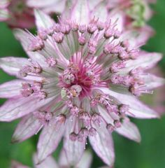Astrantia major 'Roma'