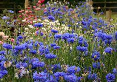 Cornflowers July August