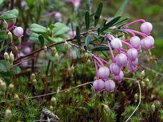 Suokukka, Andromeda polifolia - Kukkakasvit - LuontoPortti