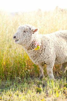Imagem de sheep, country, and farm animals