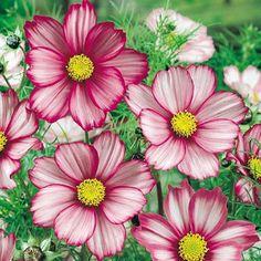 ROSENSKÄRA 'Candy Stripe' i gruppen Ettåriga blomsterväxter hos Impecta Fröhandel (8309)