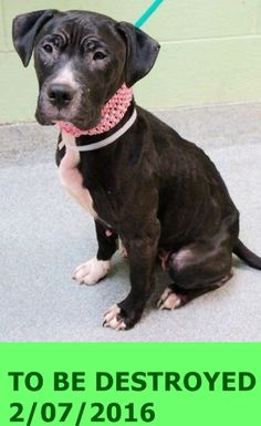 SAFE 2-7-2016 by Rescue Dogs Rock NYC --- Manhattan Center   My name is SULA. My Animal ID # is A1064286. I am a female black and white am pit bull ter mix. The shelter thinks I am about 2 YEARS  I came in the shelter as a STRAY on 02/03/2016 from NY 10457, owner surrender reason stated was STRAY. http://nycdogs.urgentpodr.org/sula-a1064286/