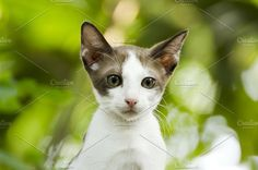 young thai cat Photos young thai cat by WindWalker