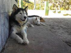 Huskies from Costa Rica