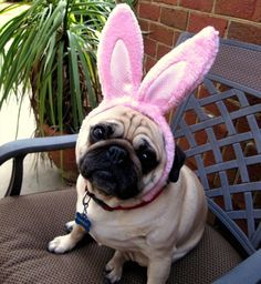 Pug Charged With Fraud After Easter Bunny Impersonation Bandit the Pug of Columbia, SC has been arrested on two counts of fraud for impersonating the Easter Bunny. Funny Animals, Cute Animals, Funny Pets, Pugs And Kisses, Pug Puppies, Pug Love, My Animal, Animal Pictures, Pug Pictures