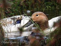Streicher ducks in my pond