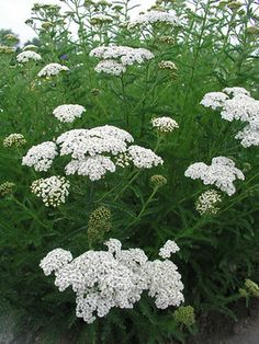 I ordered achillea 'Snow Sport' with an idea in mind of how I'd use it - and now I've forgotten. Oh well - I'll figure it out.