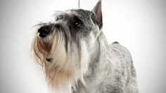 Standard Schnauzer : Dog Breed Selector : Animal Planet