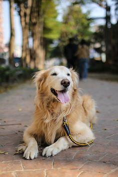 Golden Retrievers, such beautiful dogs!!