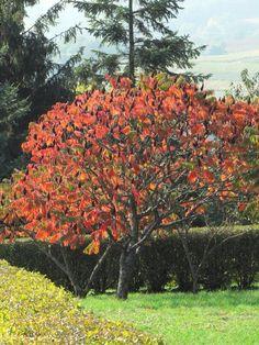 Image result for otetarul rosu