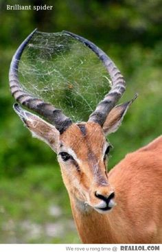 Probably a GOOD thing for the antelope to have hanging around. Just swipe at a fly and let your friend do the rest!