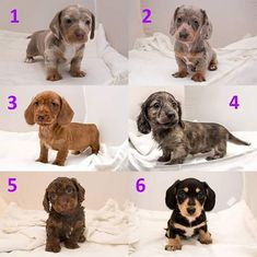 DIFFERENT LOOKS OF A DACHSHUND PUPPY.