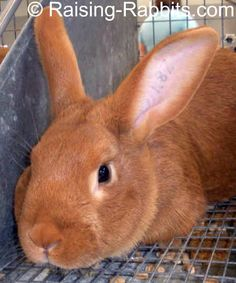 This is another breed of rabbit that we're looking at raising.  The New Zealand Red is an awesome bunny. It's not as large as the Flemish giant but it's just as nice a bunny!