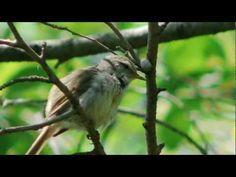 Japanese bush warbler or Japanese Nightingale (Horornis diphone) - warbling