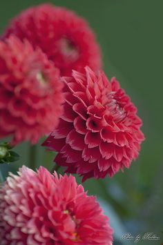 ~~Splendid ~ Dahlias by Toshimo1123~~