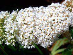 Buddleja Davidii, Butterfly Bush, Bloom, Videos, Youtube, Plants, Beautiful, Plant, Youtubers