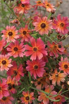 Tahitian Sunset Coreopsis in a beautiful colour that every garden needs. #gardenshrubslandscaping #LandscapeShrubs