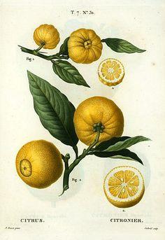 Botanical illustration by Pierre Joseph Redouté, Citrus 1801-19.