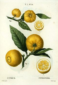 Botanical illustration by Pierre Joseph Redouté, Citrus 1801-19.