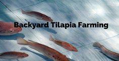 Turn your backyard Into a Fish Farm – Raise Tilapia at Home