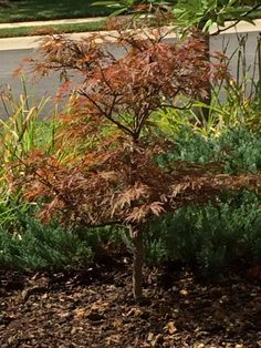 Our new Japanese Maple...love it!