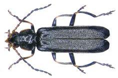 Cantharis paludosa