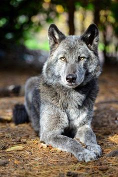 WOLFDOG (also called a wolf–dog hybrid or wolf hybrid) is a canid hybrid resulting from the mating of a gray wolf (various Canis lupus subspecies) and a dog (Canis lupus familiaris). Wolf Spirit, My Spirit Animal, Beautiful Wolves, Animals Beautiful, Beautiful Creatures, Wolf Pictures, Animal Pictures, Tier Wolf, Malamute