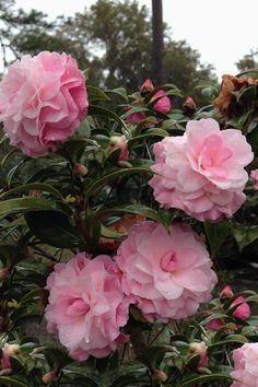 "Camellia x williamsii ""Buttons Bows"" Camellia Tree, Camellia Plant, All Flowers, Beautiful Flowers, Plants For Sale Online, Pink Garden, Plant Sale, Trees To Plant, Planting Flowers"