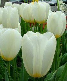 Single Late Tulip Francoise--Francoise is a coveted Scheepers Hybrid Tulip that flaunts its classic chalice-shape like few others. It is a tetraploid, meaning it is stronger and more vital from a genetic standpoint. Francoise opens soft ivory-white with sulphur-yellow flames and whitens as its large, shapely blooms mature.