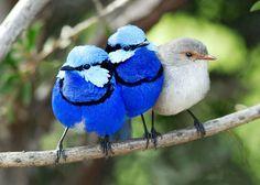 australian wildlife pics | Australia, Western Australia, Great Southern, Blue Wrens, Australian ...