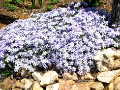 Creeping Phlox for slope landscaping because are good groundcovers for a slight slope in a sunny area with well-drained soil that are rich in humus. These plants can also prevent erosions plus it can beautify your hillside. Phlox plants bloom continuously in spring and using these in your steep hill landscaping will give you optimal opportunity to showoff its beauty.