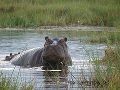 Hippo, Hippopotamus, Wild, Mammal