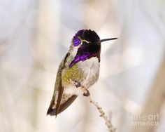 Hummingbird by Rebecca Margraf  Costa's hummingbird