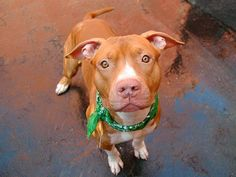 """SUPER URGENT  11/3/13Manhattan Center - P~ROSS.~ I am a male brown and white pit bull mix. 2 YEARS old. STRAY on 10/22/2013 This sweet boy appears to have had very little time spent teaching him """"good doggy manners"""". Despite his distractibility & rough housing, Ross scored rather well on his behavior exams. He met the Helper dog interested & friendly. No guarding issues with food/bone/toy. Ross needs someone to step up and be his savior."""