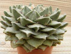 ariocarpus-furfuraceus-