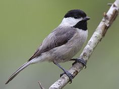 Chickadee's frequent visitor to my birdfeeders