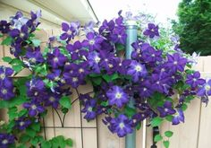 Today's Mastering Gardening Series is about Clematis care and pruning. Clematis is one of my favorite climbing vines. If you don't have a trellis Clematis i Clematis Care, Clematis Plants, Garden Plants, Pruning Plants, House Plants, Climbing Plants Fast Growing, Fast Growing Vines, Climbing Clematis, Purple