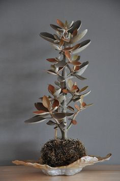 "kalanchoe orgyalis; rare succulent. ""Copper Spoons"" can grow ip to 6 feet tall and 2-3 feet wide"