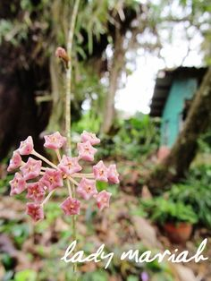 Rat Tail Orchid | stonei giant orchid gramatophyllum speciosum and the rose orchid ...