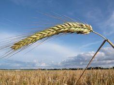 Trotz Klimawandel: Züchter wollen Roggen für die Zukunft fit machen: Bioökonomie