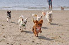 Flying Chihuahuas on the beach!
