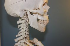 두개골, 척추, 해부학, 뼈, 몸, 인간의, 해골, 머리, 얼굴, 턱, 이빨