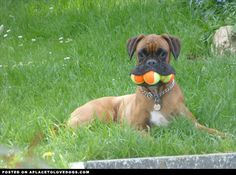 Silly Boxer dog Jessie doesn't like sharing with her sister, so...