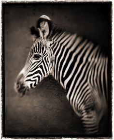 Nick Brandt. Portrait of Baby Zebra, Lewa Downs, 2002