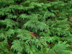 Russian cypress shrubs may be the ultimate evergreen groundcover with its flat, scalelike foliage, these shrubs are both attractive and rugged. Click here for more information about growing Russian cypress and Russian cypress care.