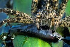 Some spiders can hunt and eat fish!