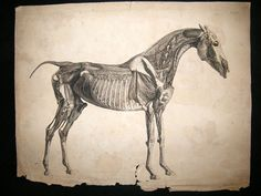 Antique Large Folio Etching Published J Purser for the Author London for The Anatomy of the Horse 1st Edition by George Stubbs Drawn and Etched by