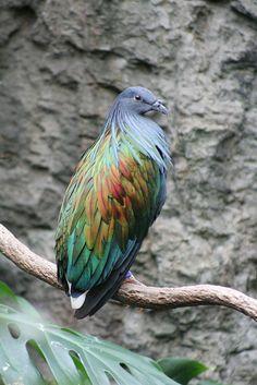 Nicobar Pigeon, fantastic!! So Asia & islands (Nicobar Island), mostly ground dwelling. Closest living relative to the extinct Dodo.
