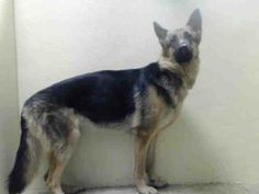 SAFE --- BROOKLYN CENTER  ROXANN -A0997565  FEMALE, BLACK / BROWN, GERM SHEPHERD, 9 mos OWNER SUR - EVALUATE, NO HOLD Reason ALLERGIES  Intake condition NONE Intake Date 04/23/2014, From NY 11207, DueOut Date 04/23/2014. https://www.facebook.com/photo.php?fbid=792126347466913&set=a.617941078218775.1073741869.152876678058553&type=3&theater