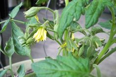 Tomato Plants, My Living Room, Indoor Plants, Herbs, Organic, Fresh, Tomatoes, Gardening, Urban